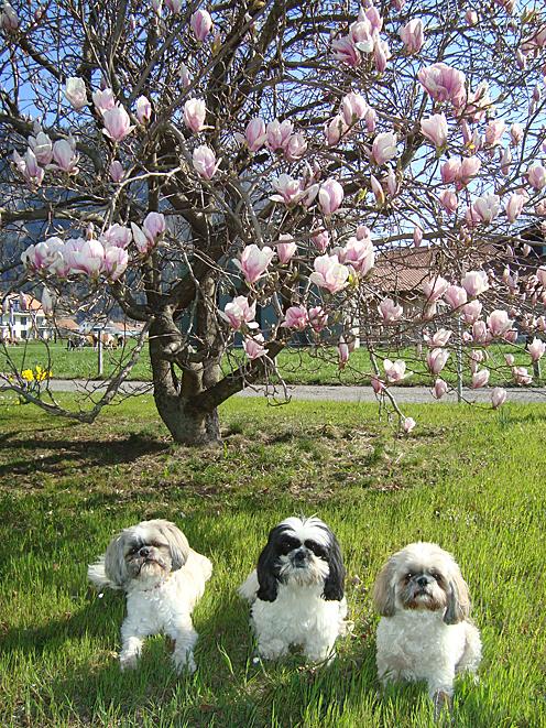 Magnolienbaum 31 03 2012